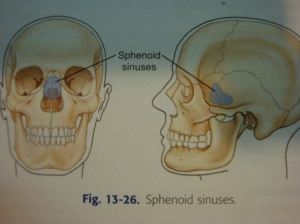Pic - Anatomy - Sphenoid Sinuses