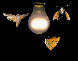 Moths_around_a_light_bulb