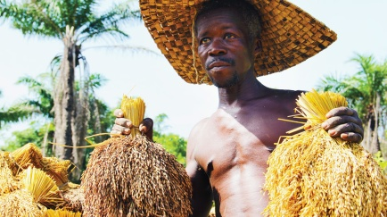 bernard-bassene-a-rice-farmer-in-etafoune-holds-traditional-redhued-senegalese-rice-in-his-right-hand-and-hybrid-gm-r.png
