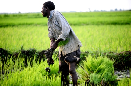 africa rice cultivation brought to china and far east