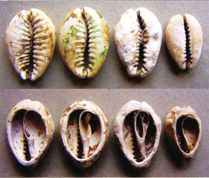 chinese cowry currency 3