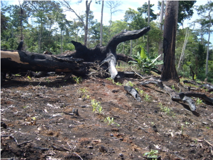 slash burn and replant