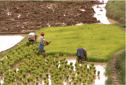 africa rice cultivation brought to china and far east 1