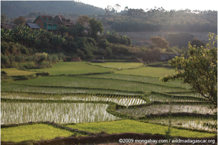 Terraced rice patties of Madagascar