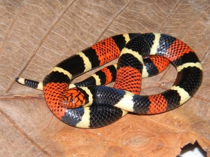 coral snake black and red coral mediterranean